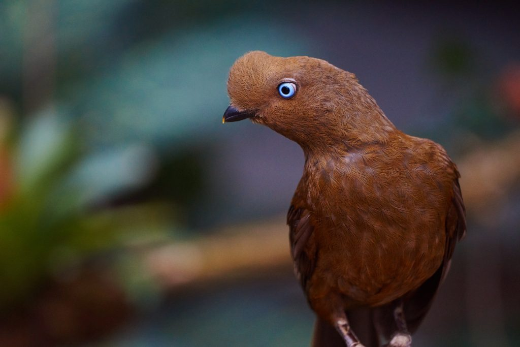 Female Andean Cock-of-the-Rock