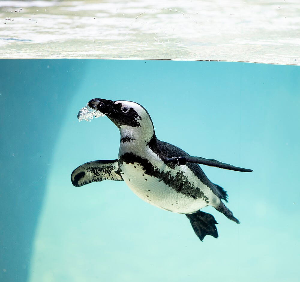 An African Penguin swimming underwater