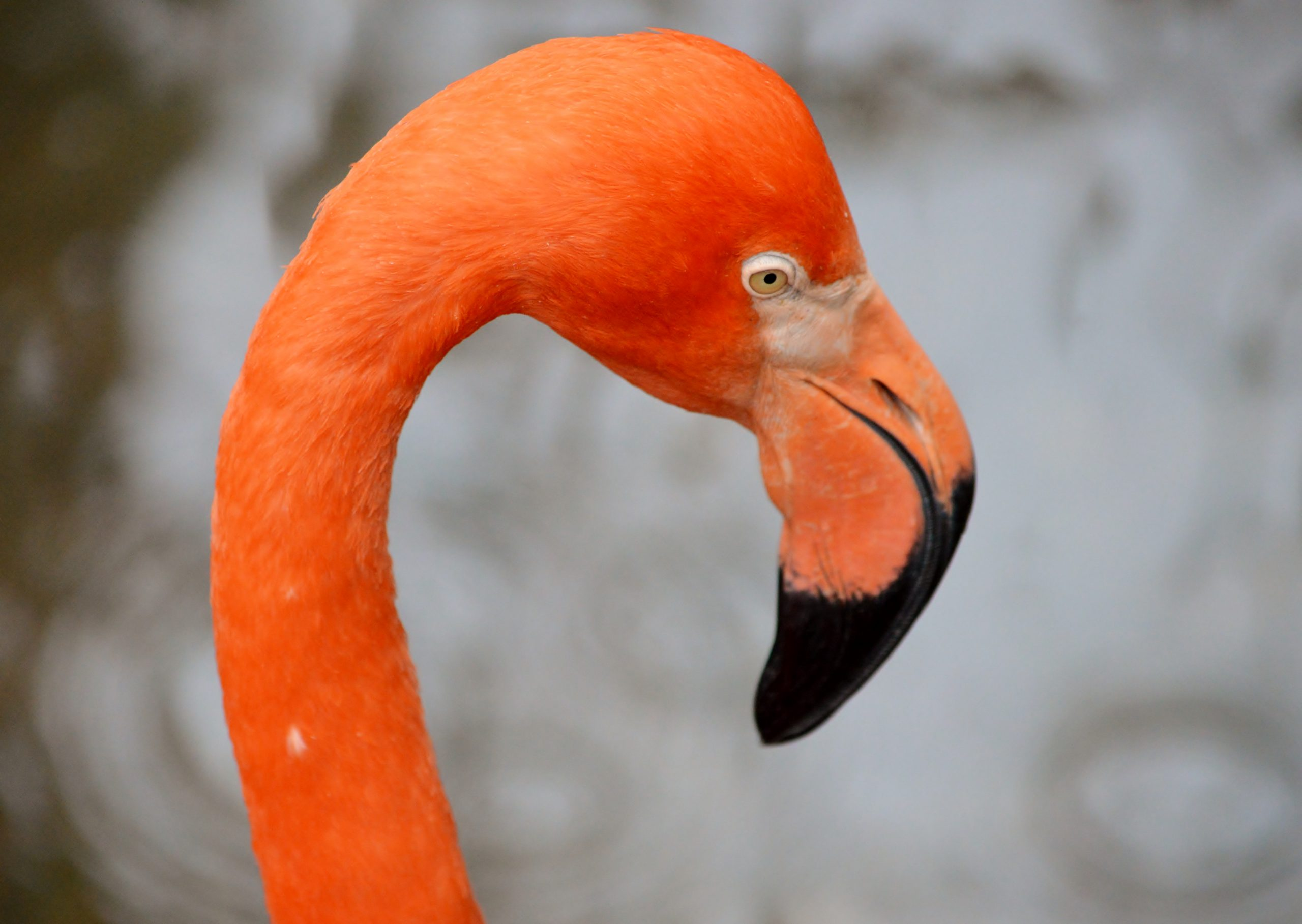 pink head of flamingo