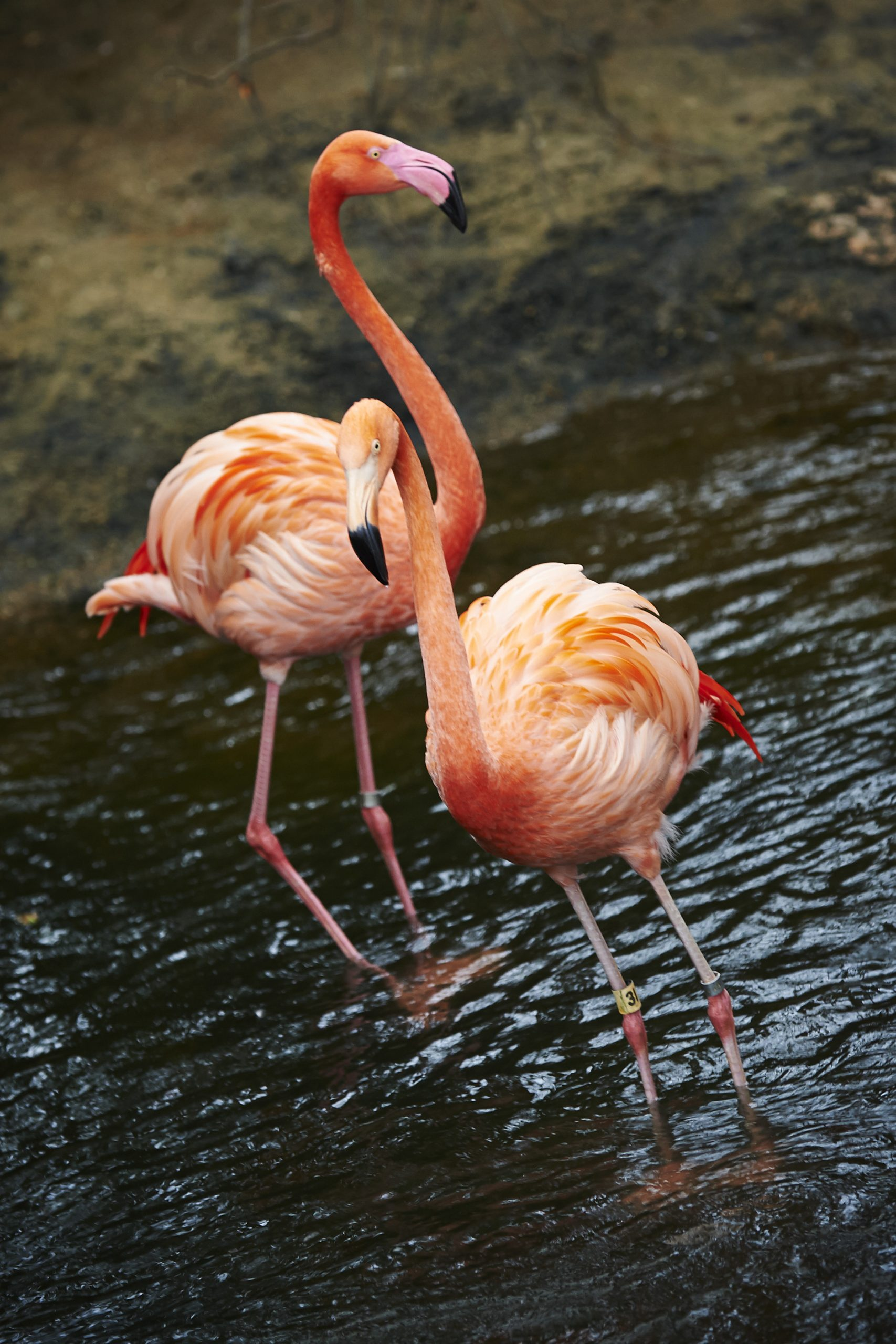 Two American Flamingos standing in water