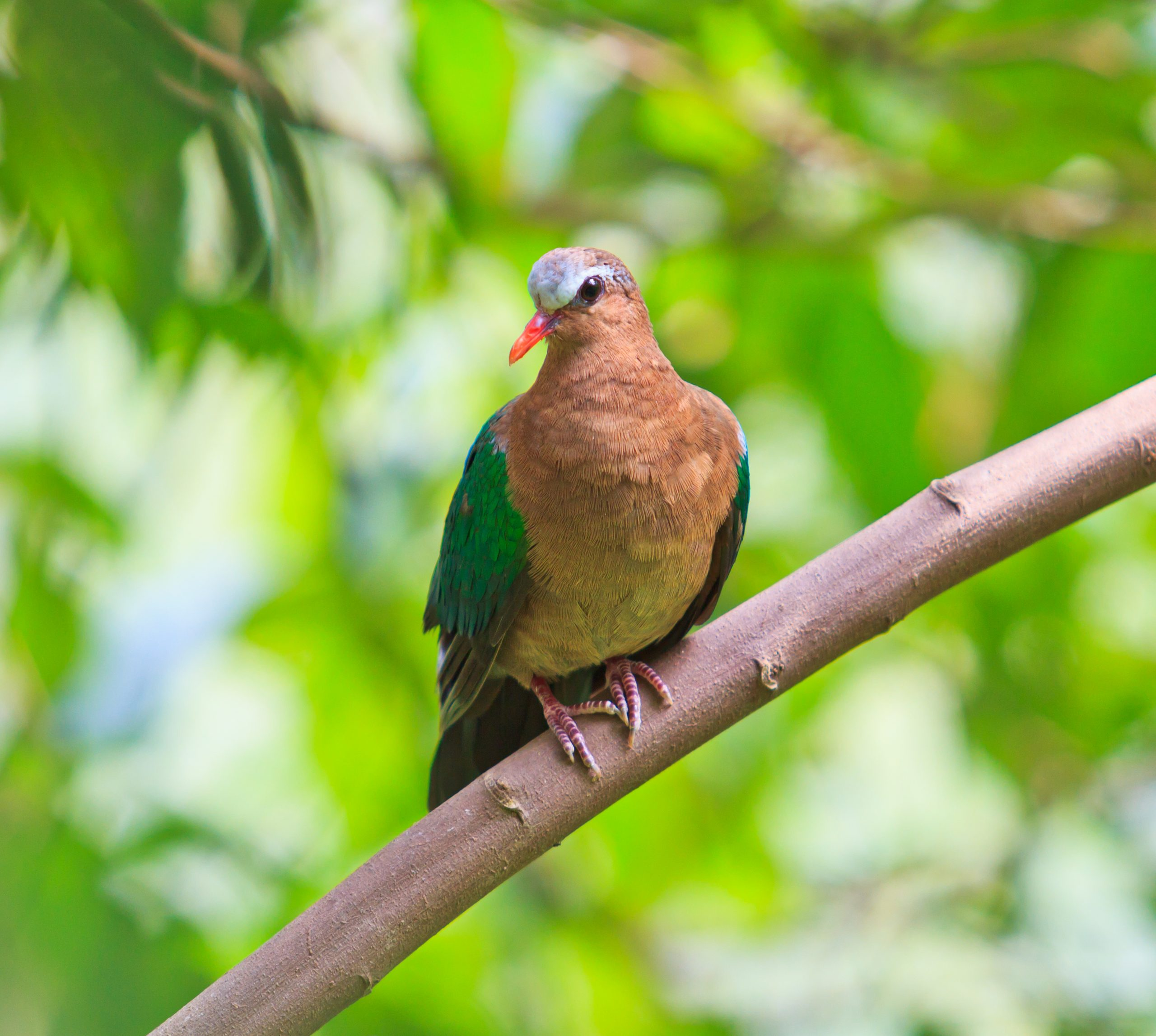 A Green-winged Dove perched on a branch
