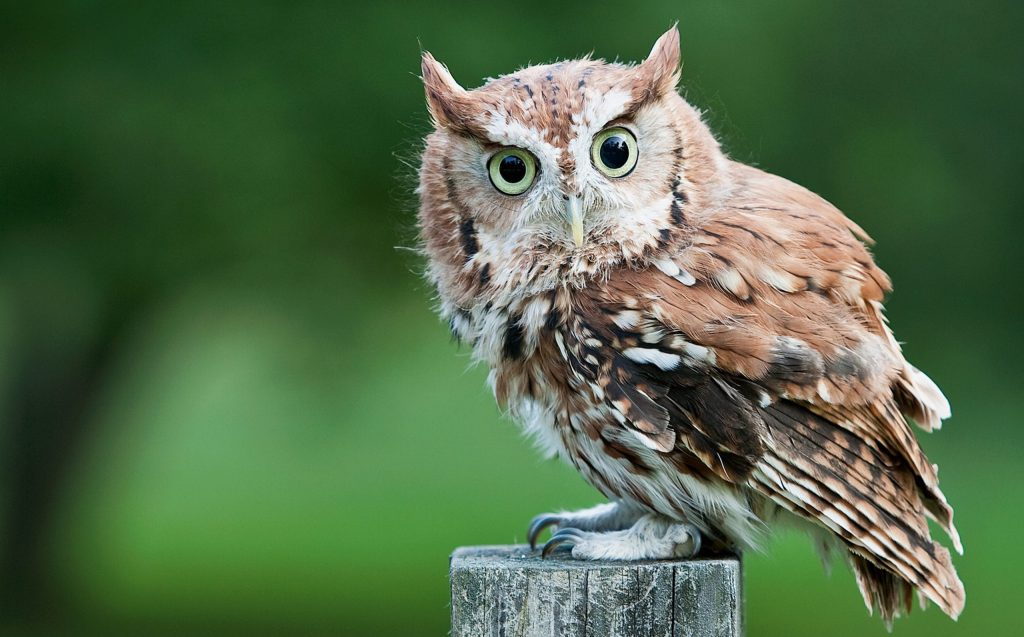 An eastern screech-owl perched on a fence post