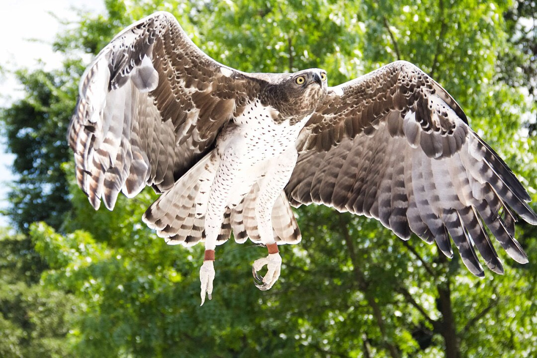 A Martial Eagle flying