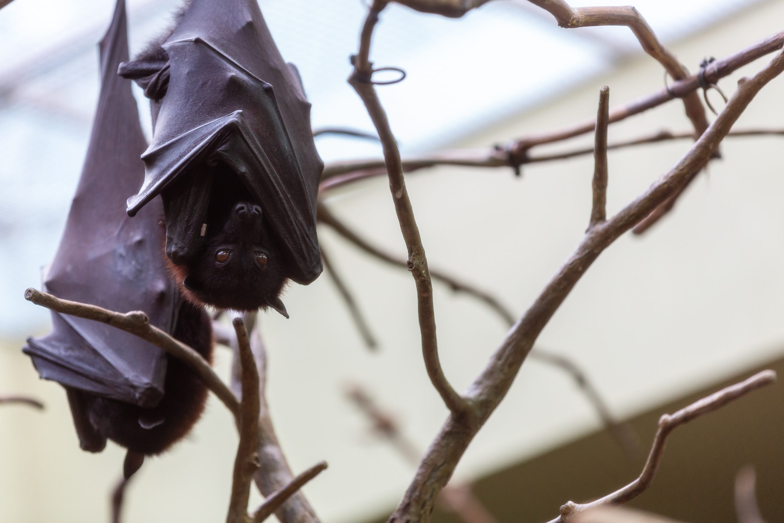 Malayan Flying Foxes hanging upside down from a branch