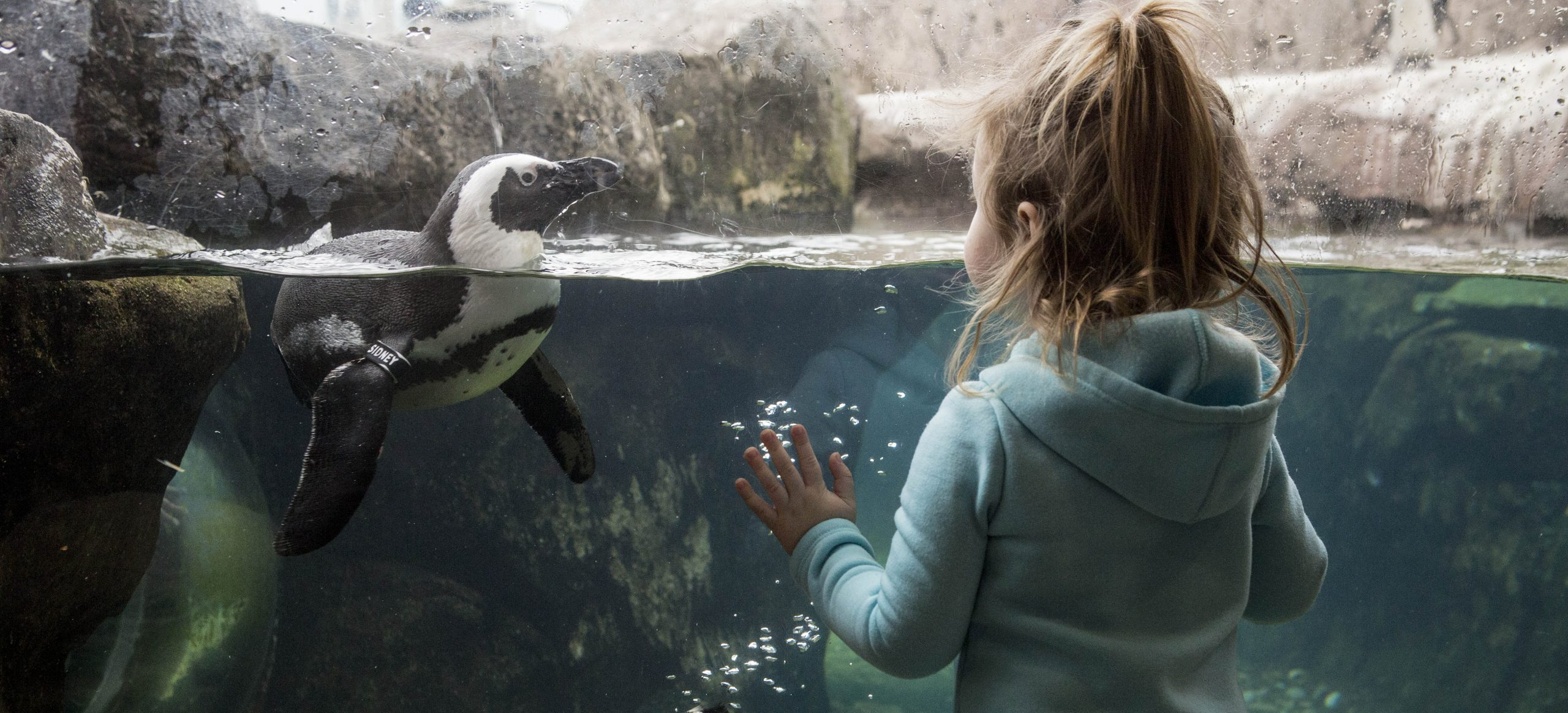 A young girl looking at an African Penguin swimming at Penguin Point at the National Aviary