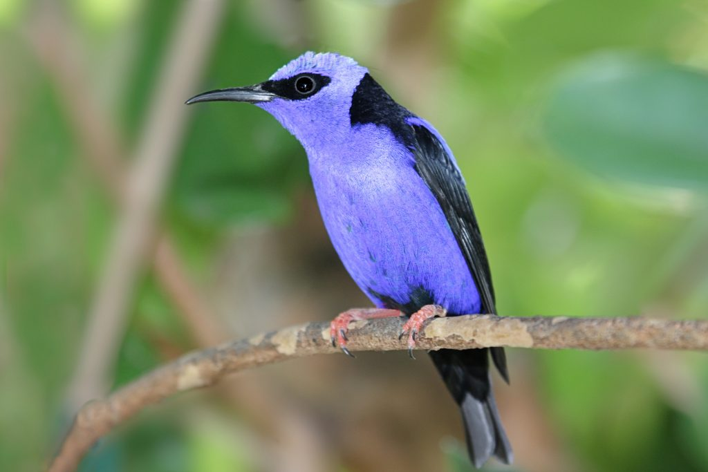 Red-legged Honeycreeper perched on a branch
