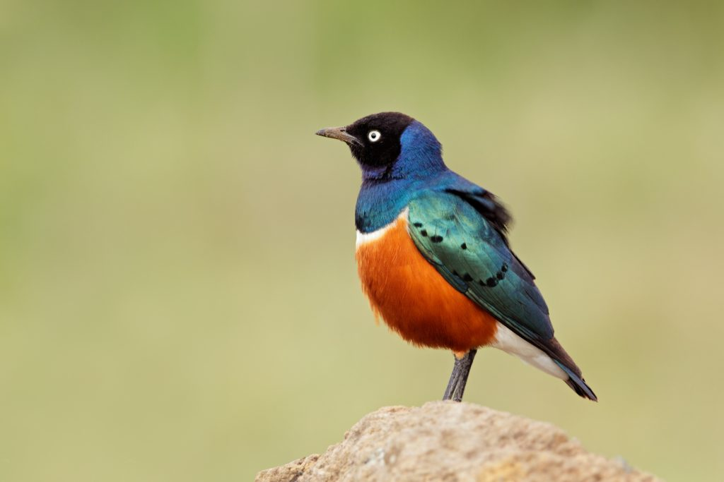 Superb Starling standing on a rock