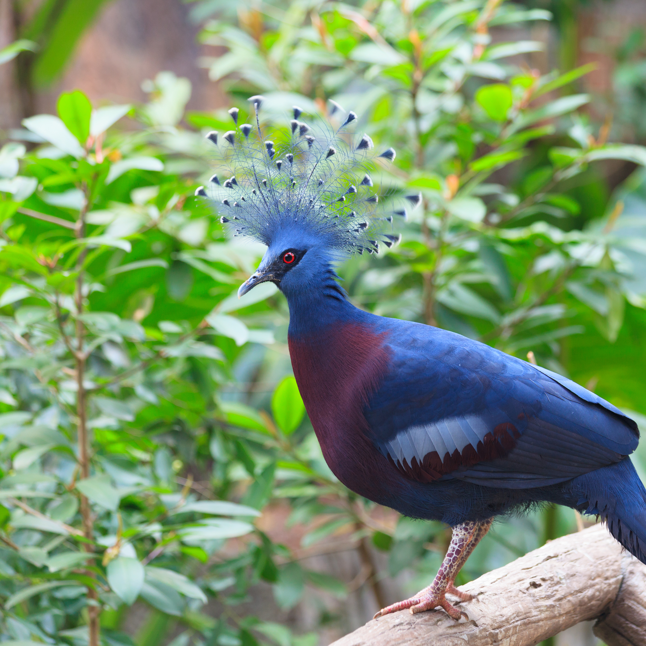 Victoria Crowned Pigeon perched on a branch