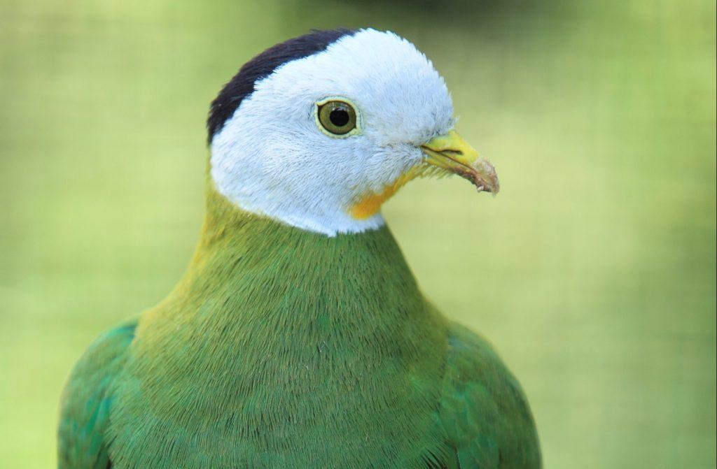 Headshot of a Black-naped Fruit Dove