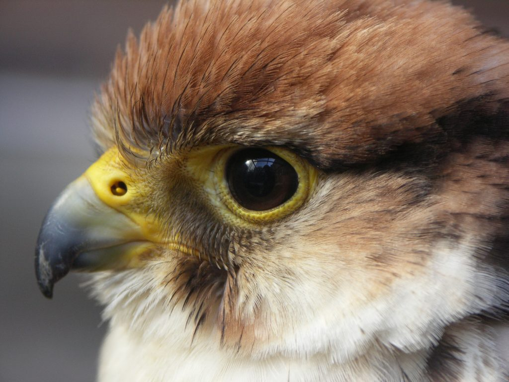 A headshot of a falcon