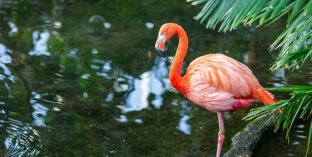 An American Flamingo standing in water