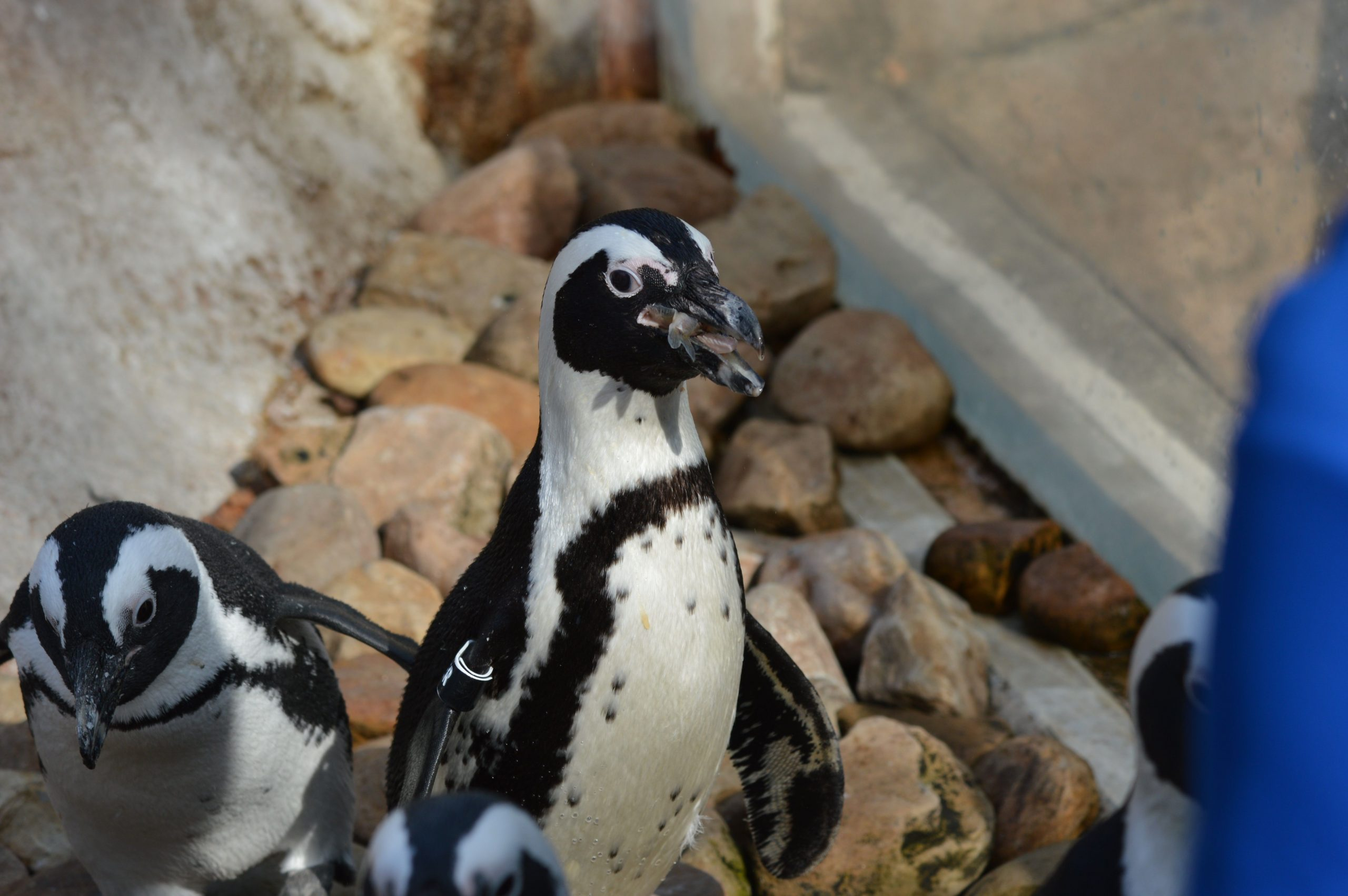 Two African Penguins standing on rocks, one eating a fish