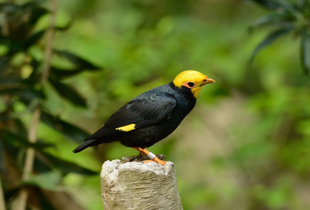 Golden-crested Myna perched on a wooden stump