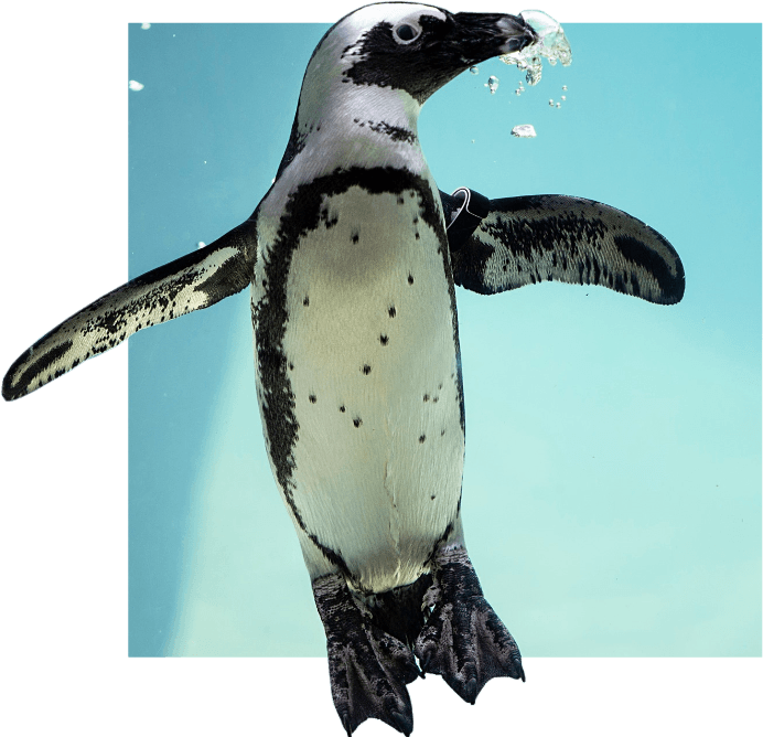 African Penguin swimming up through water