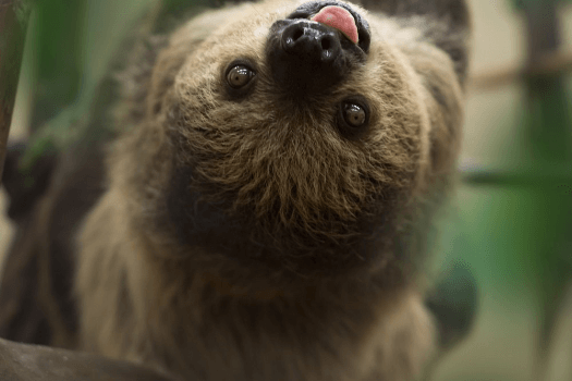 A Linnaeus's Two-Toed Sloth hanging upside-down from a tree branch with its tongue sticking out