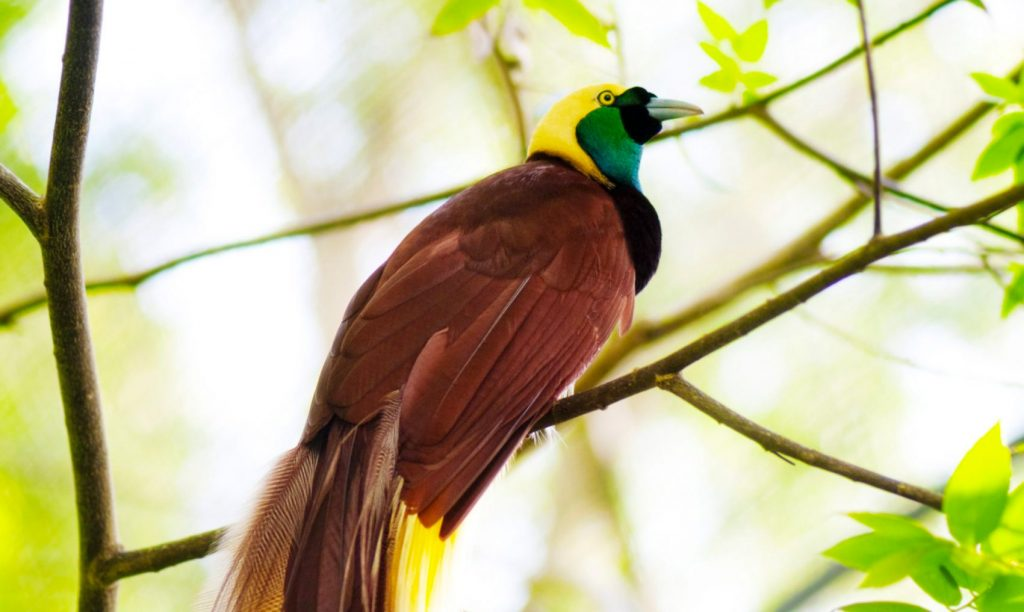 Male Lesser Bird-of-Paradise perched on a branch