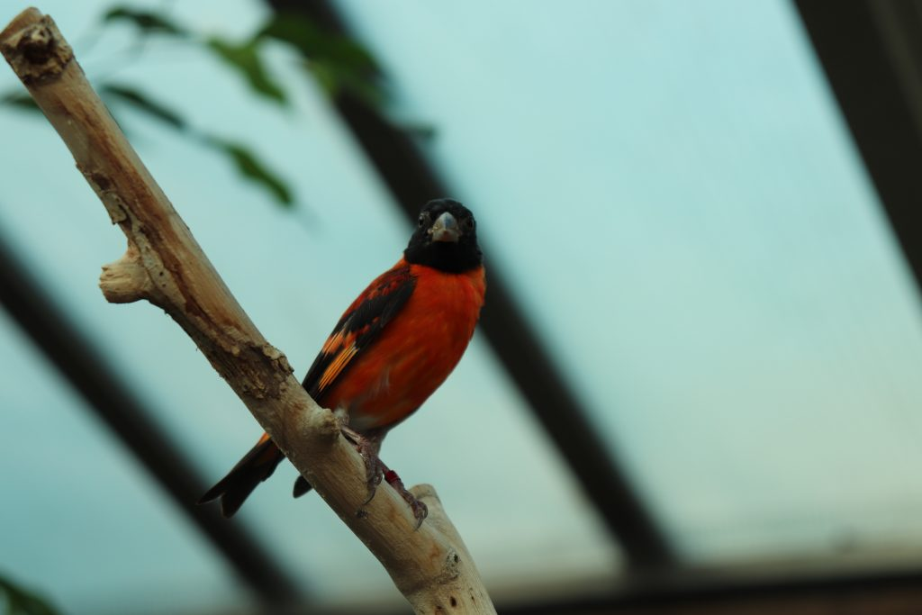 Red Siskin perched on a branch