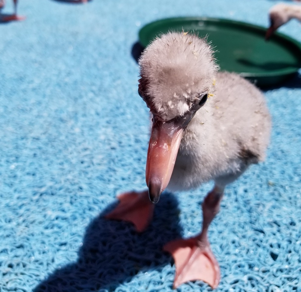 A Lesser Flamingo chick being cared for in South Africa.