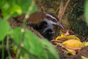 Two small, fuzzy Guam Rail chicks are tended to by a parent in the Tropical Rainforest at the National Aviary.