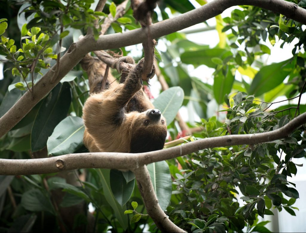A Linnaeus's Two-toed Sloth hanging upside down on a branch