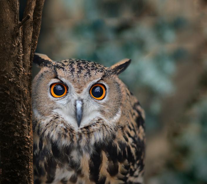 An Eurasian Eagle-owl