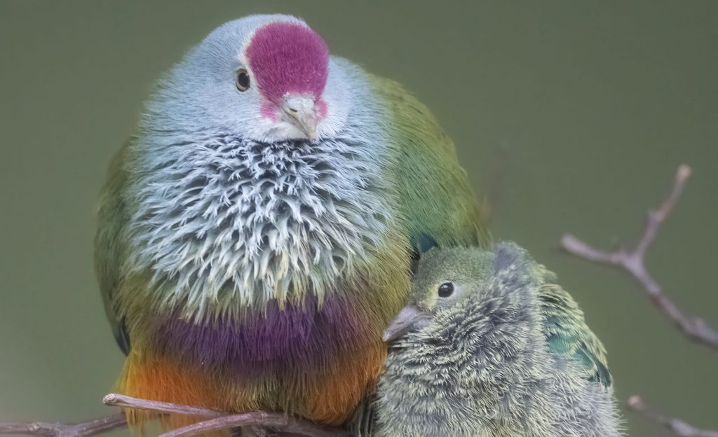 A Mariana Fruit-Dove and its chick