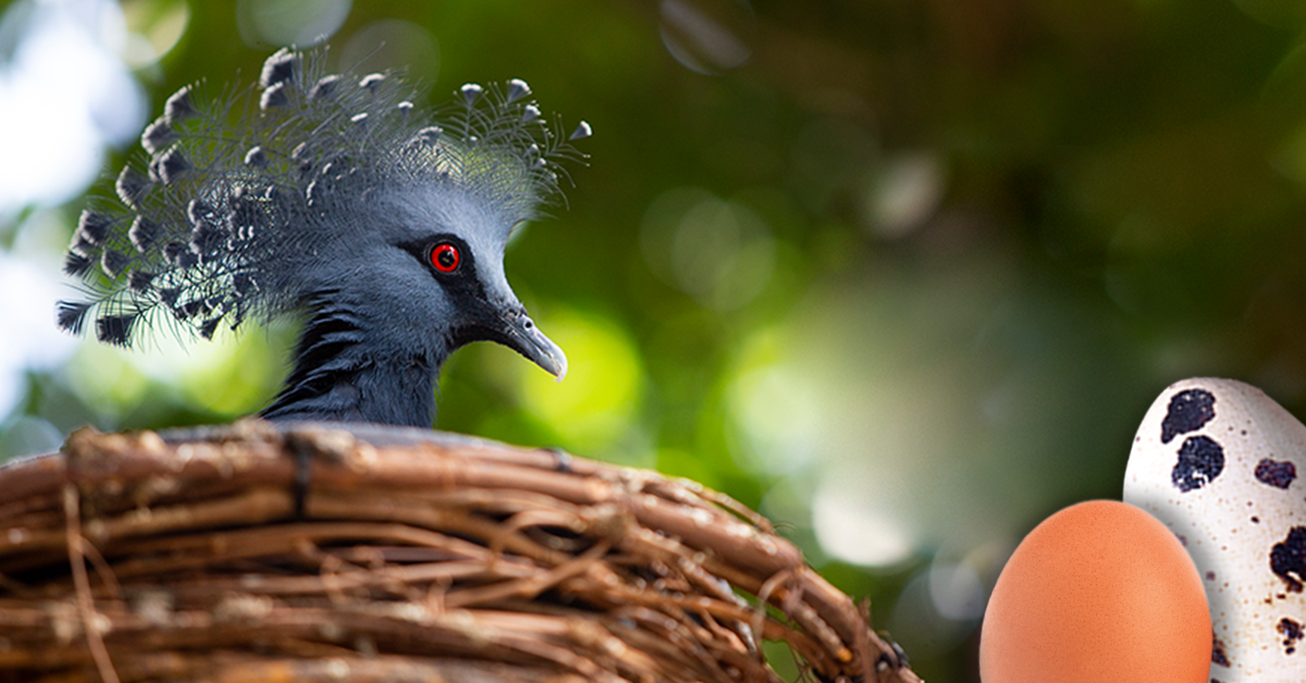 A Victorian Crowned Pigeon sitting in nest with two illustrated eggs