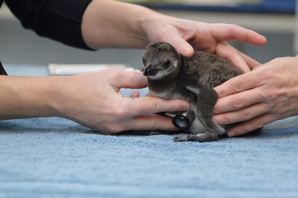 African Penguin chick is held during routine wellness checkup