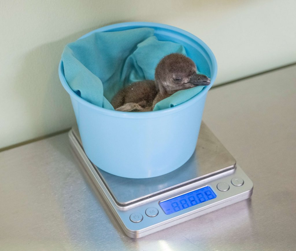 African Penguin chick is weighed during wellness checkup