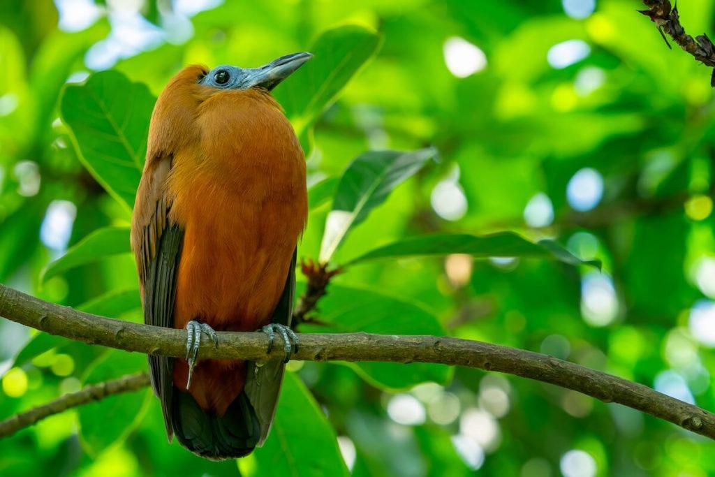 A Capuchinbird perched in a tree