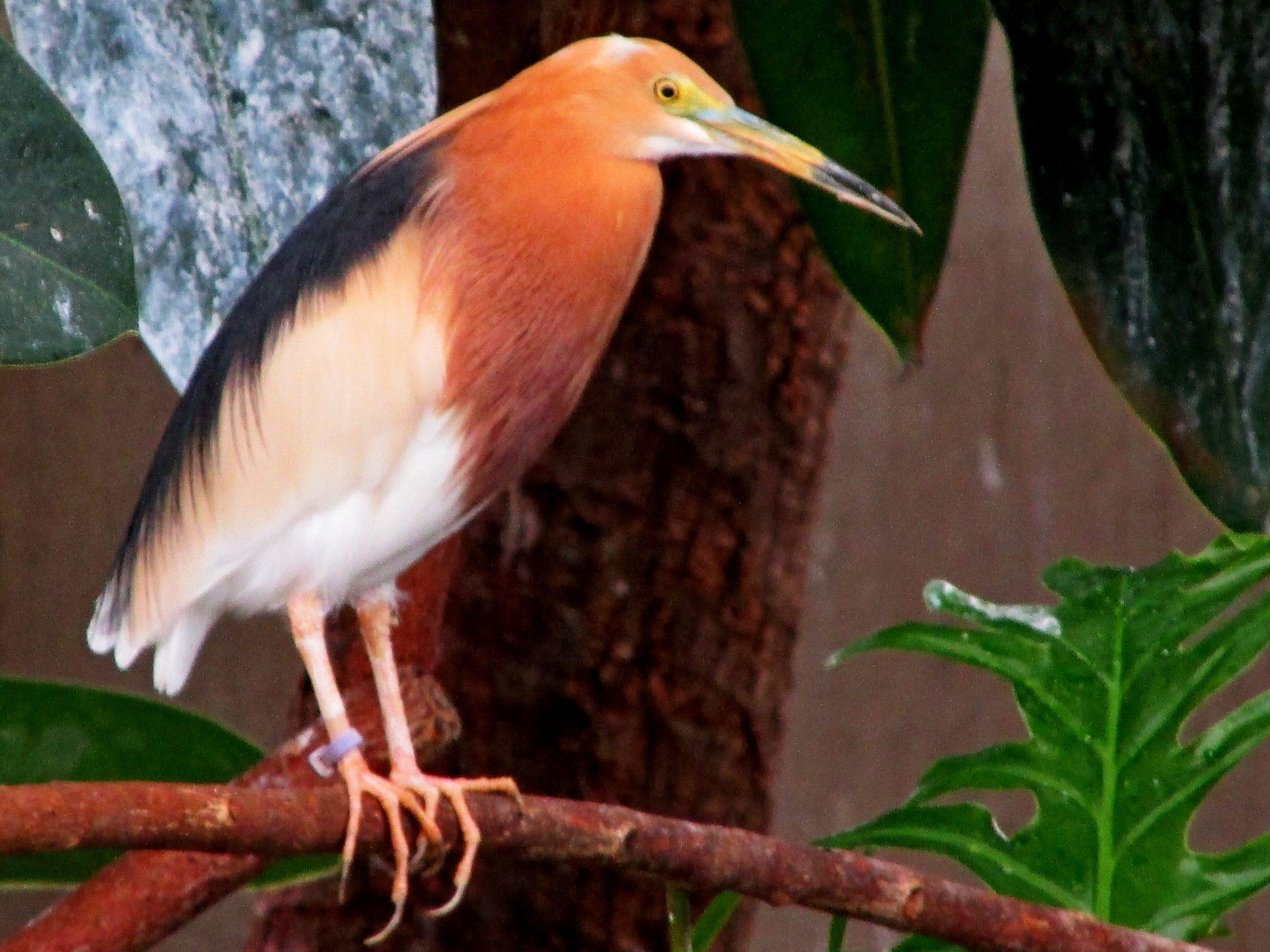 Javan Pond-heron perched on a branch