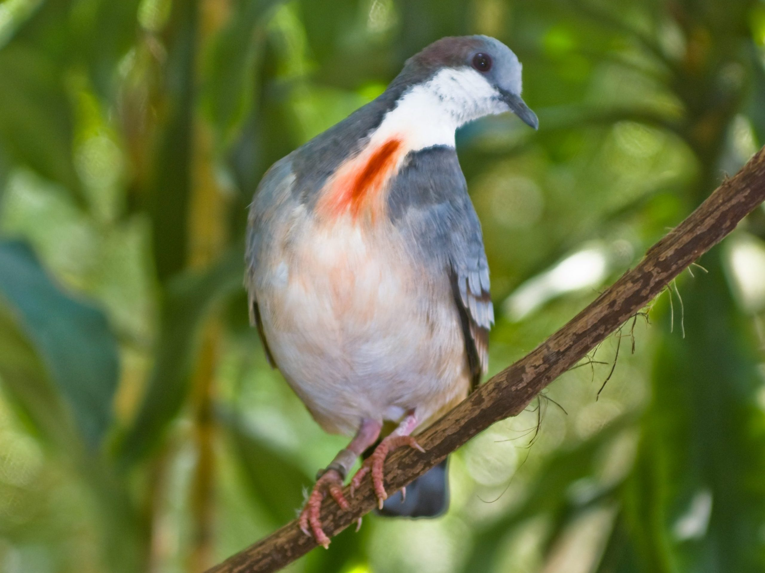 Luzon Bleeding-heart Dove perched on a branch