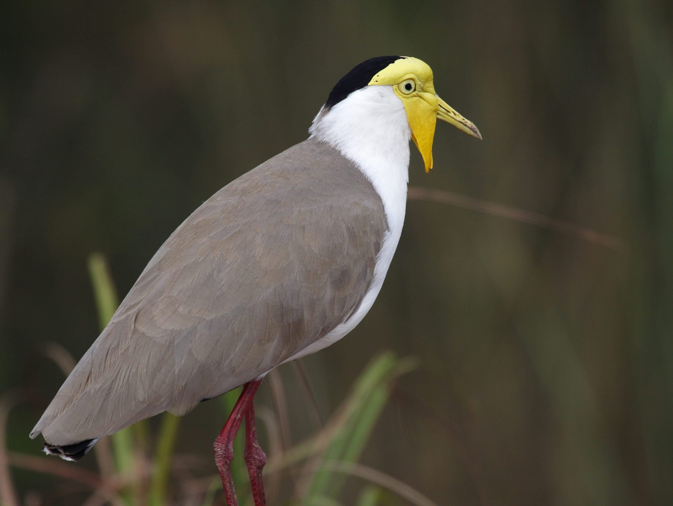 A Masked Lapwing in the water