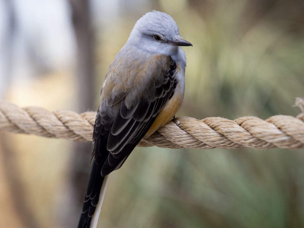 Scissor-tailed Flycatcher perched on a rope