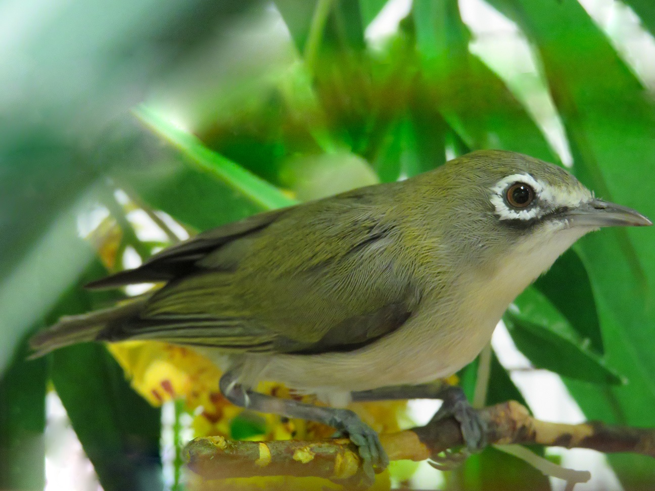 A Bridled white-eye perched on a tree branch