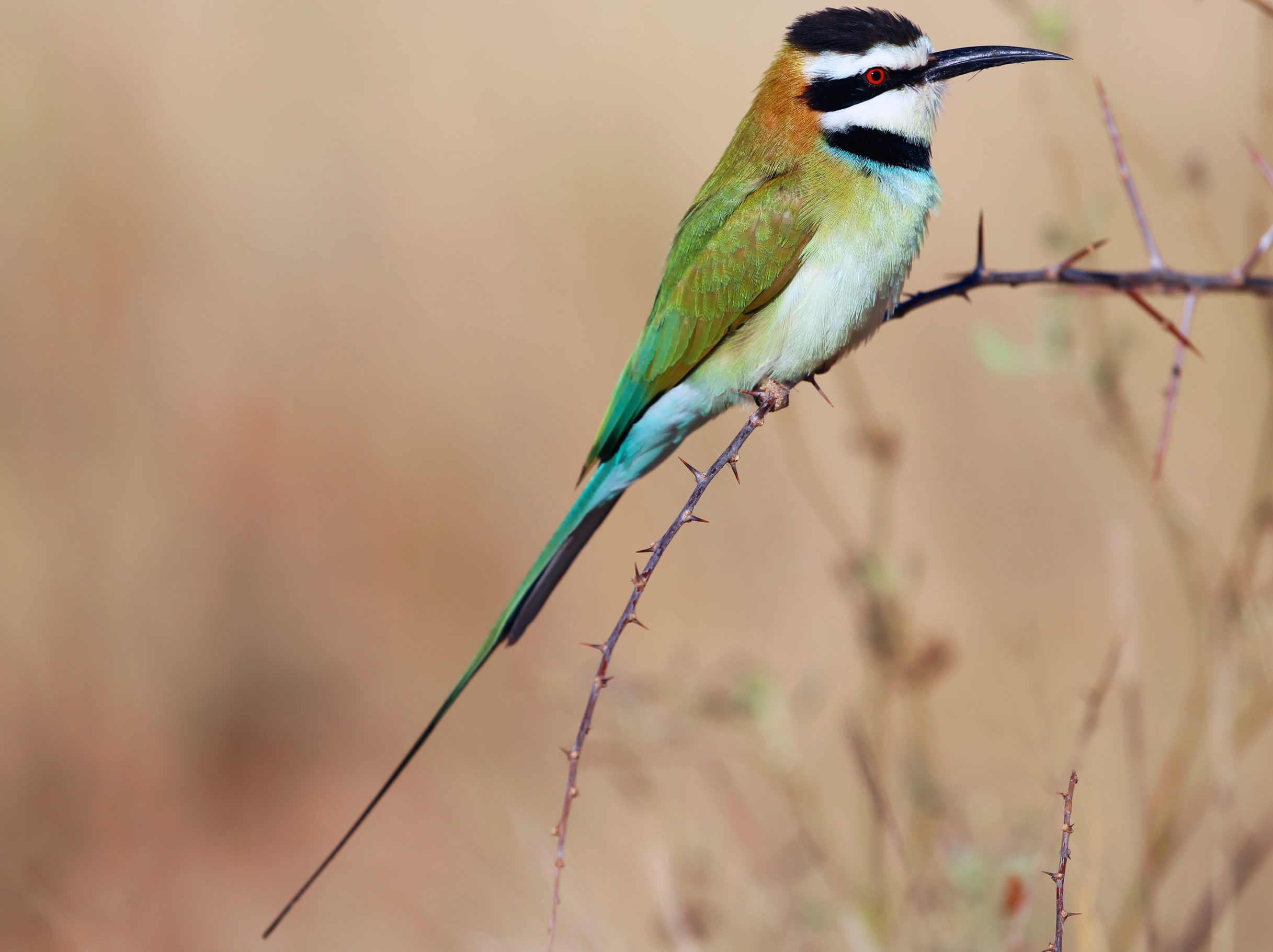 White-throated Bee-eater perched on a branch