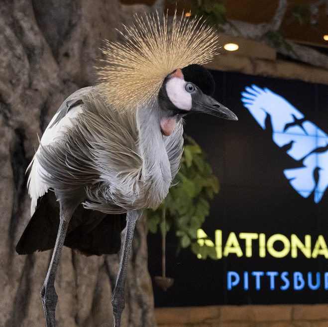 A grey crowned-crane perches on a rock with National Aviary logo in background