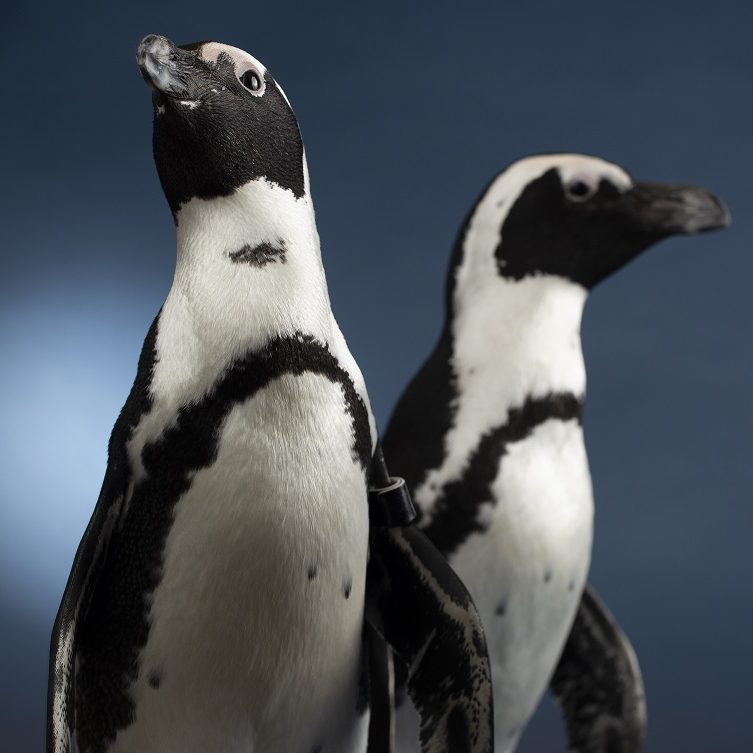 Two African Penguins against a blue backdrop
