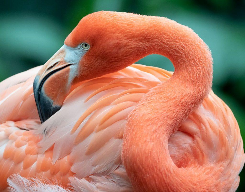 American Flamingo preening itself